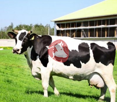 Корова дойная2