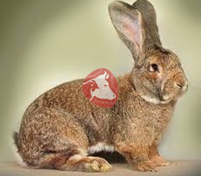 Кролик рыж